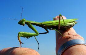 Gottesanbeterin oder auch Mantis genannt auf dem Finger halten