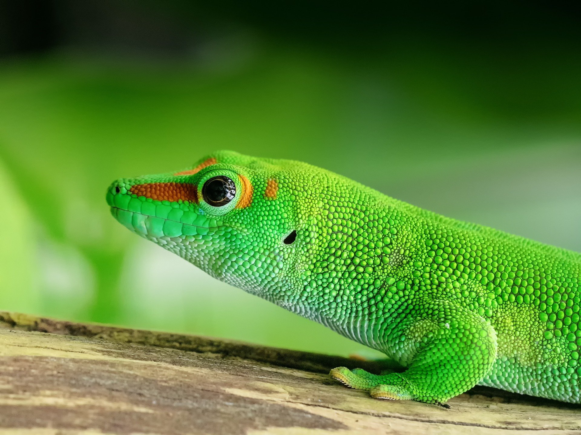 Madagaskar Taggecko, Madagasar daygecko, Madagaskar Taggecko Haltung