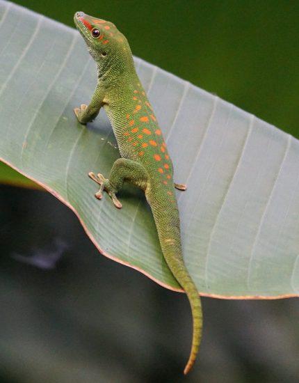 Madagaskar Taggecko Haltung