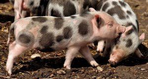 Drei kleine süße Minischweine. Die Minischwein Haltung macht Spaß
