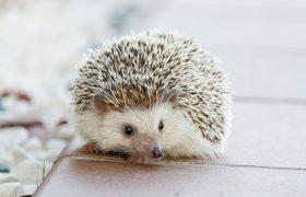Igel als Haustier auf Holzboden