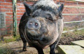 Microschwein Haltung