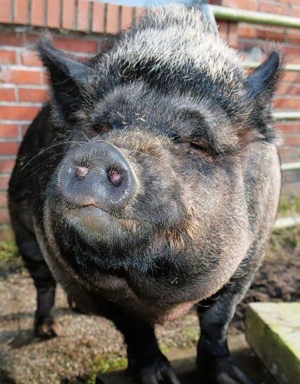 Minischwein Haltung - lass die Sau rein!