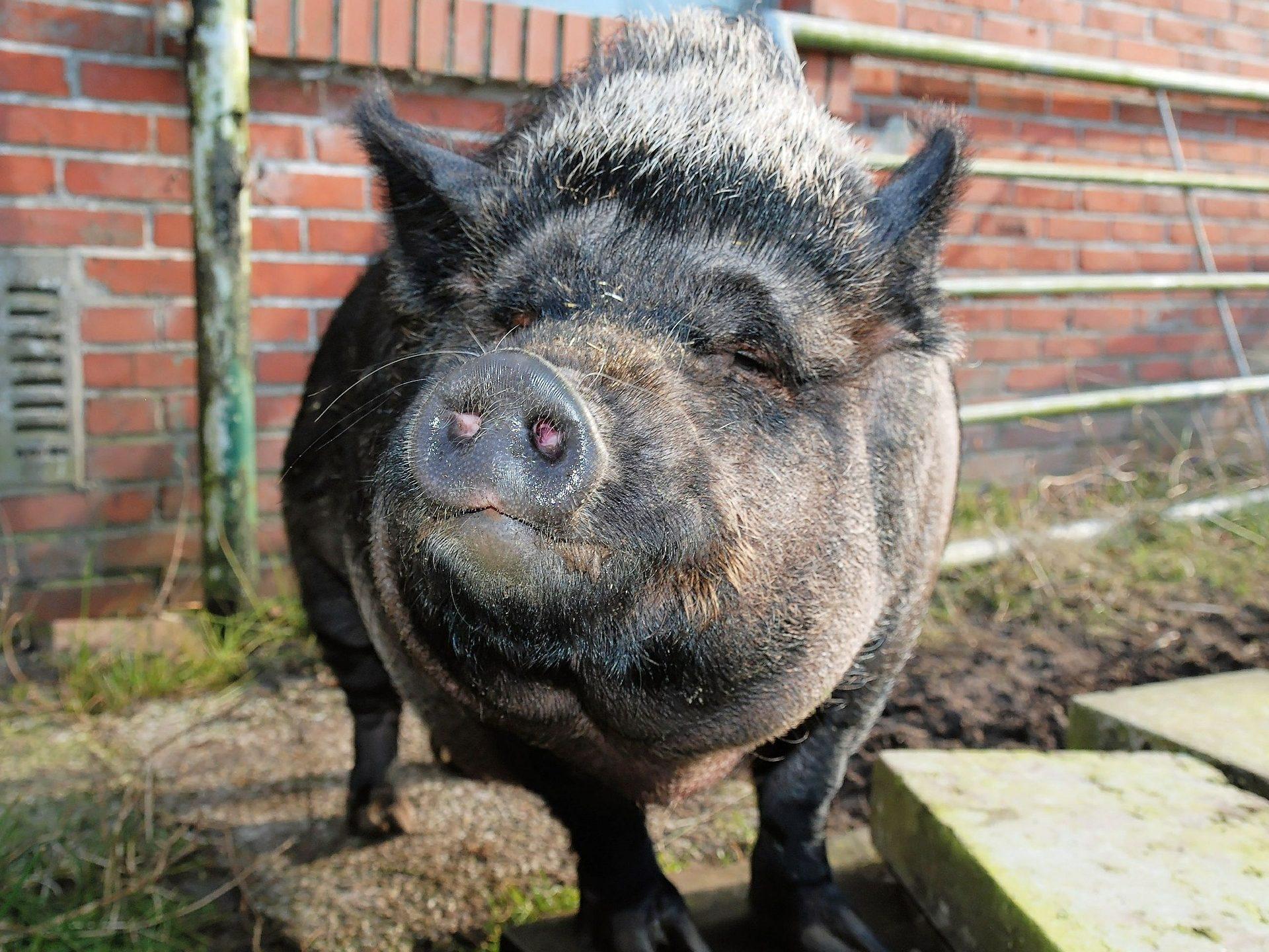 Minischwein Haltung Minischwein Kaufen