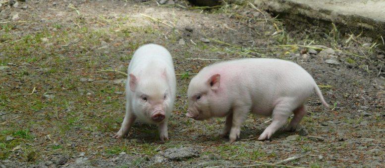 Minischwein kaufen beim Züchter