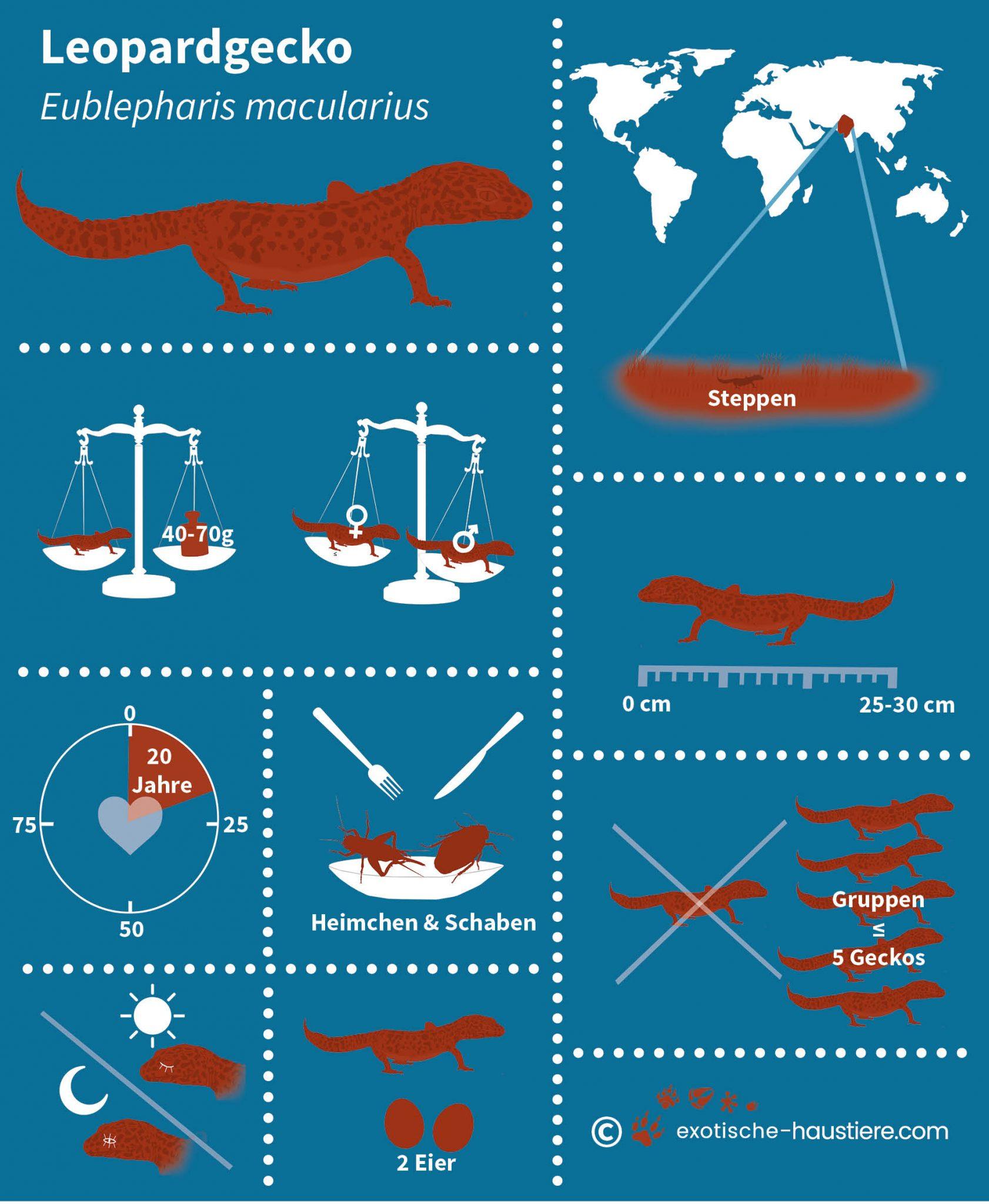 Infografik zum Thema Leopardgecko Haltung
