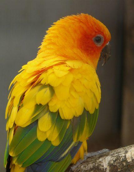 Sonnensittich Haltung - ein wilder Papagei für dich