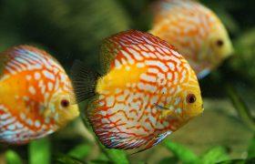 Buntbarsch Diskusfisch Haltung Exotische Zierfische