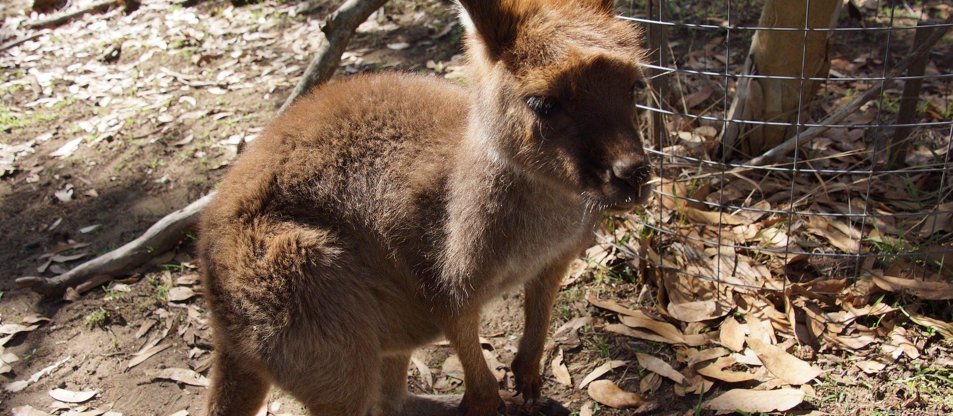Wallaby Haltung