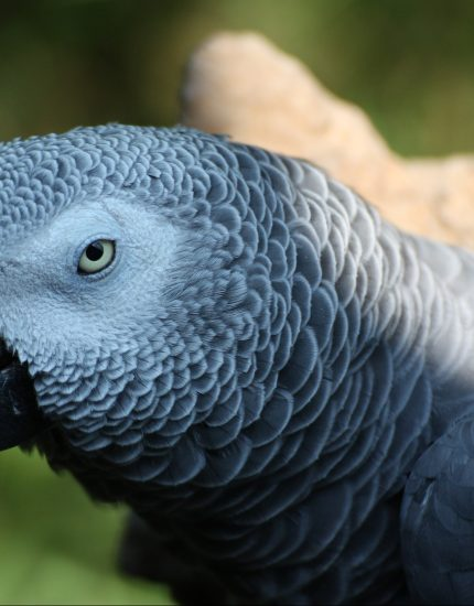 Graupapagei Haltung - der intelligente Vogel