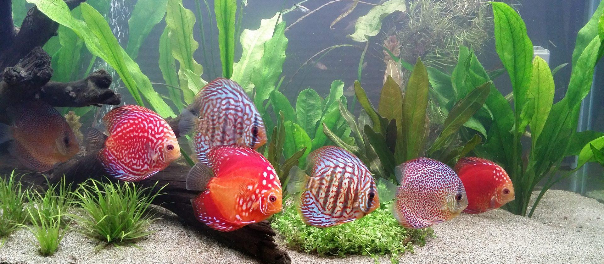 Diskusfisch Aquarium