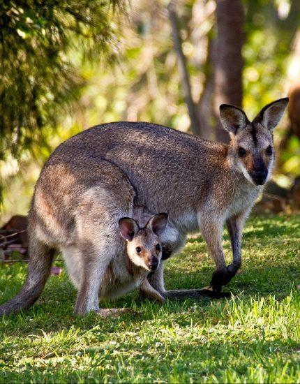 Wallaby Haltung - Australien für dein zu Hause
