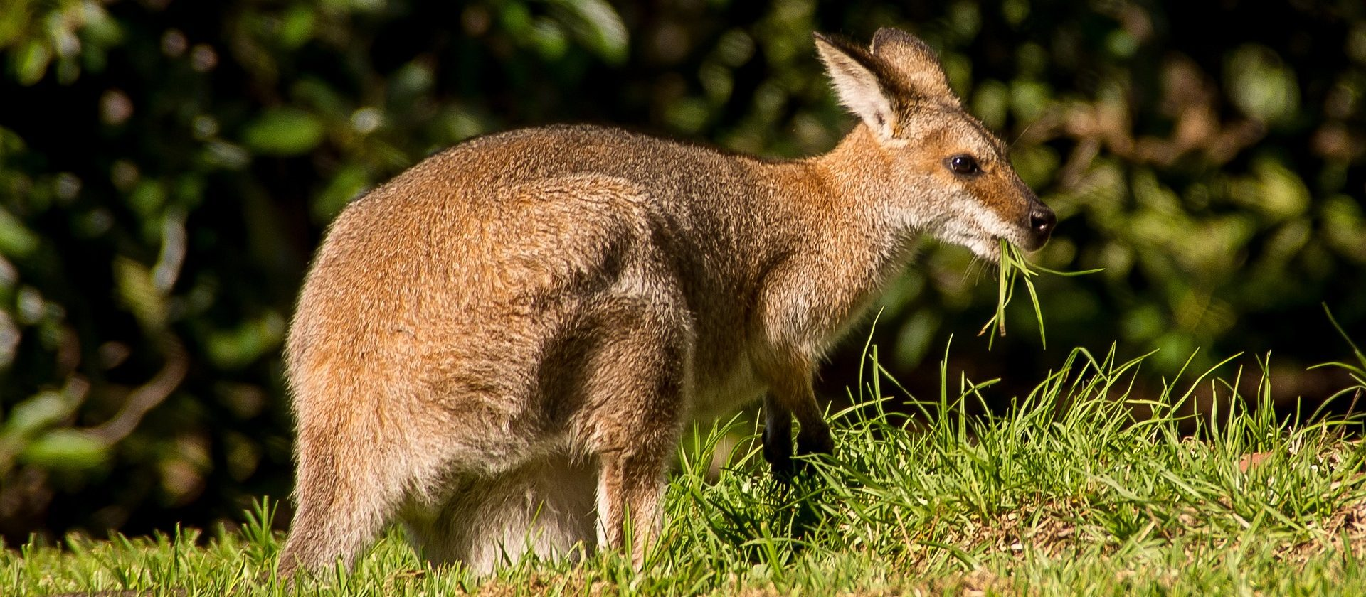 Wallaby Futter