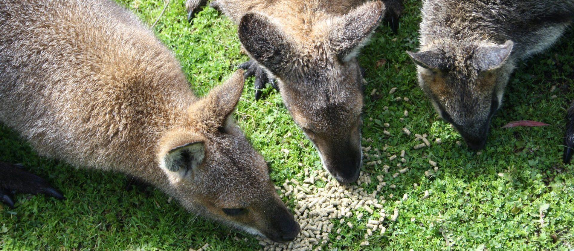 Wallaby Pflege