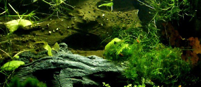 Axolotl Haltung mit FIschen