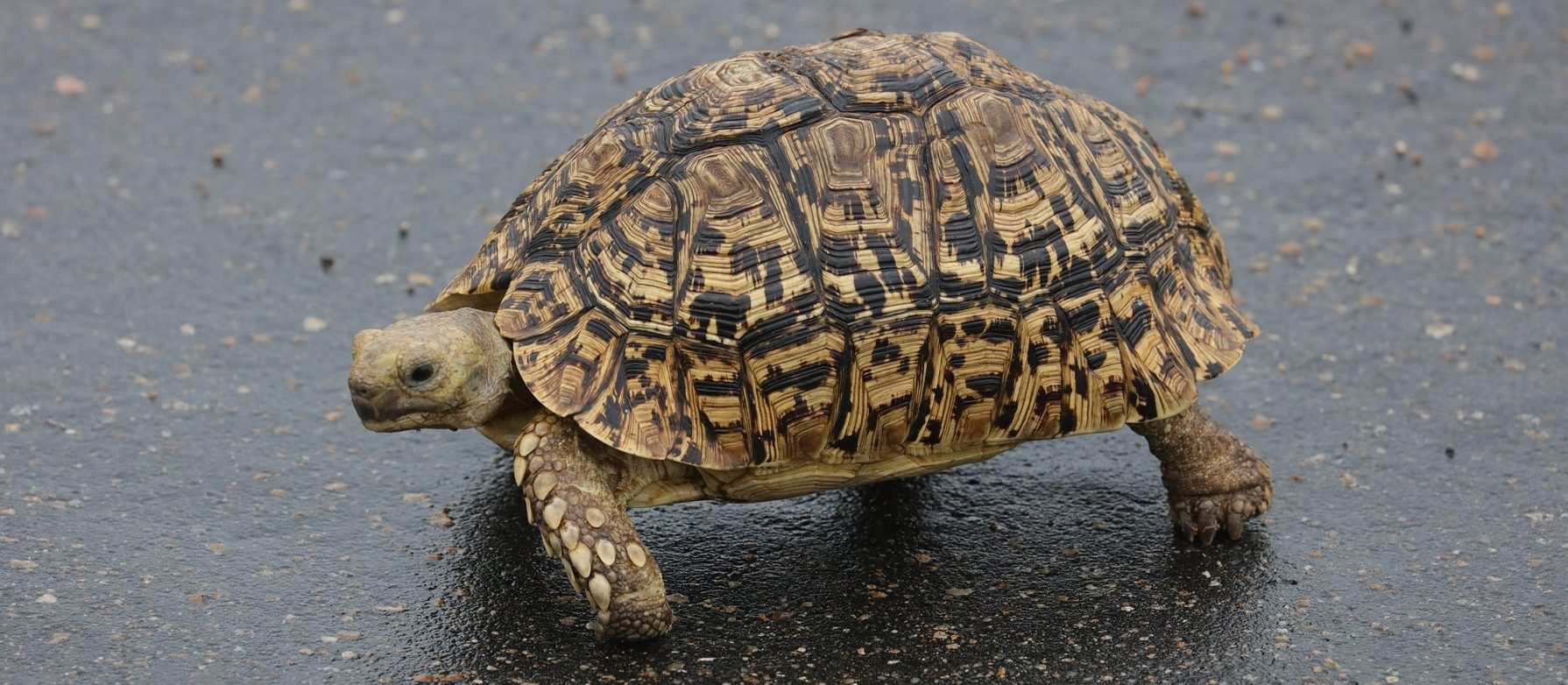 Pantherschildkröte fragen zur Haltung