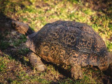Pantherschildkröte Haltung African Leopard Tortoise Stigmochelys pardalis tropische Landschildkröte
