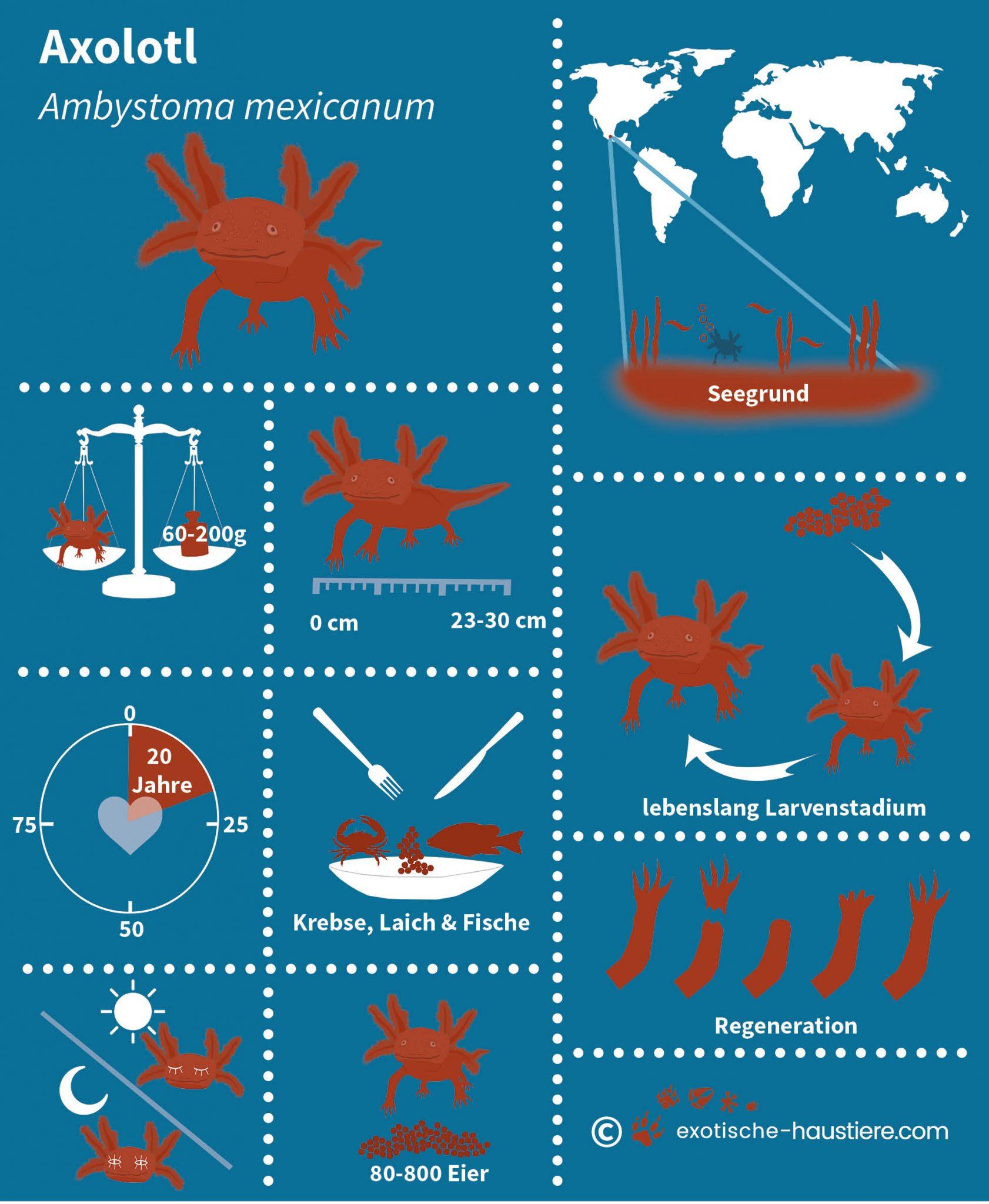 Infografik zum Thema Axolotl Haltung
