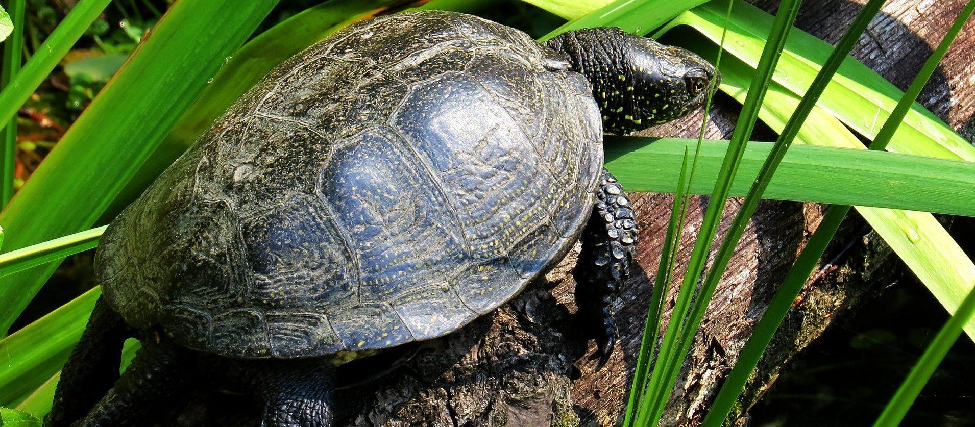 Wasserschildkröte auf Baumstamm