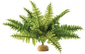 Bartagame Pflanze