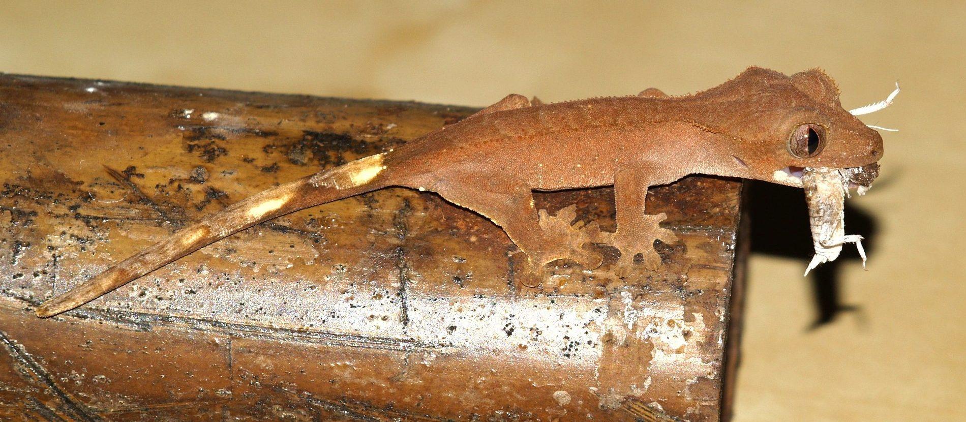 Das Kronengecko Futter besteht größtenteils aus lebender Beute
