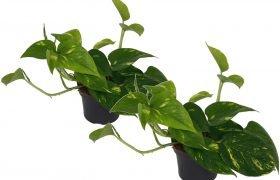 Kronengecko Bepflanzung