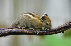 Baumstreifenhörnchen Haltung