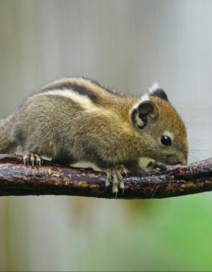 Baumstreifenhörnchen Haltung – flauschige Akrobaten