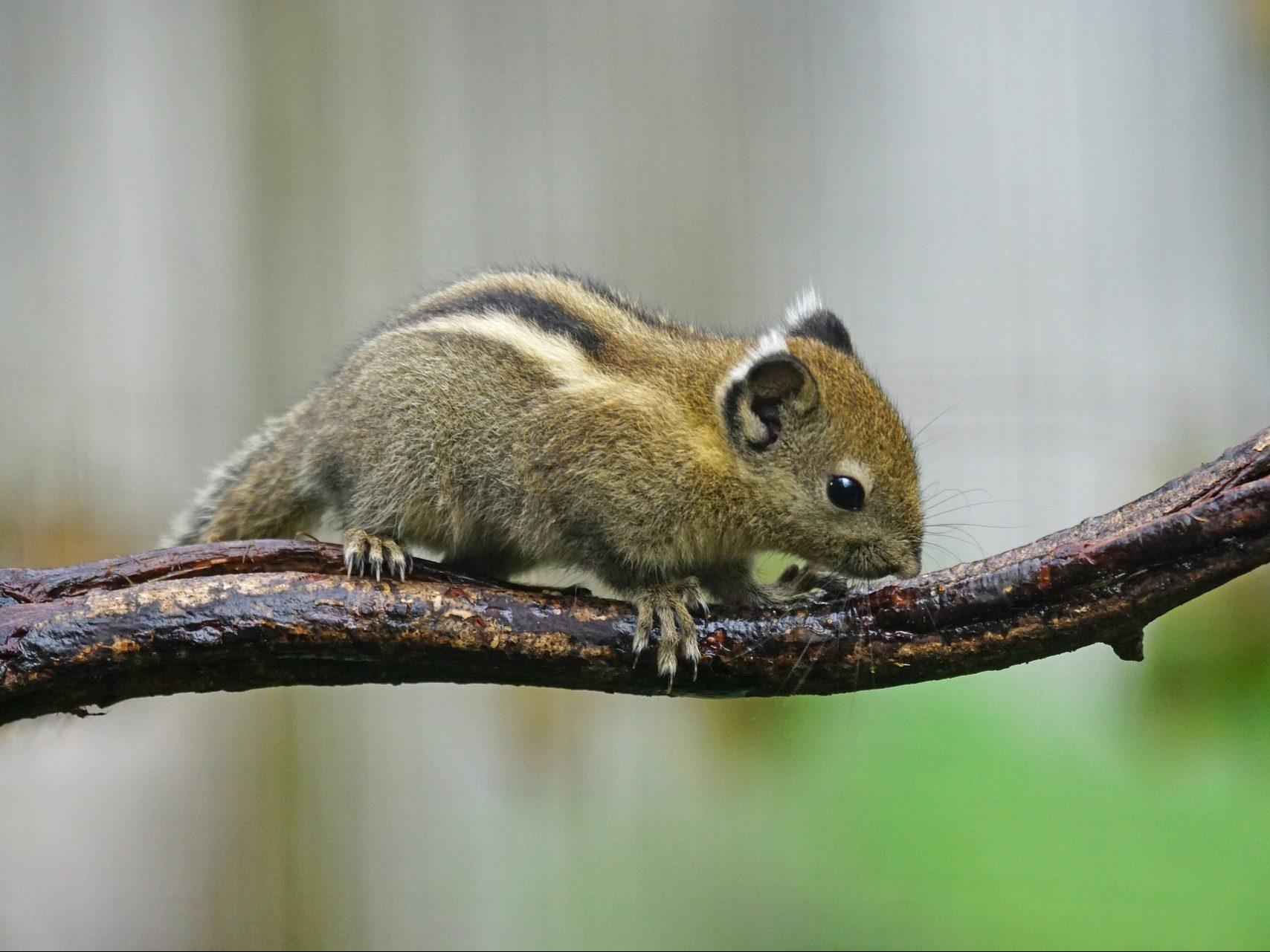 streifenhörnchen kosten