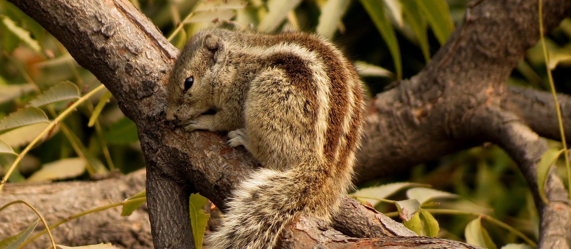 Baumstreifenhörnchen kaufen