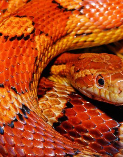 Kornnatter Haltung – deine farbenfrohe Schlange