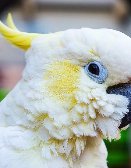 Kakadu Haltung – Krummschnabel mit hohen Ansprüchen