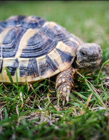 Griechische Landschildkröte Haltung – entspannter Zeitgenosse