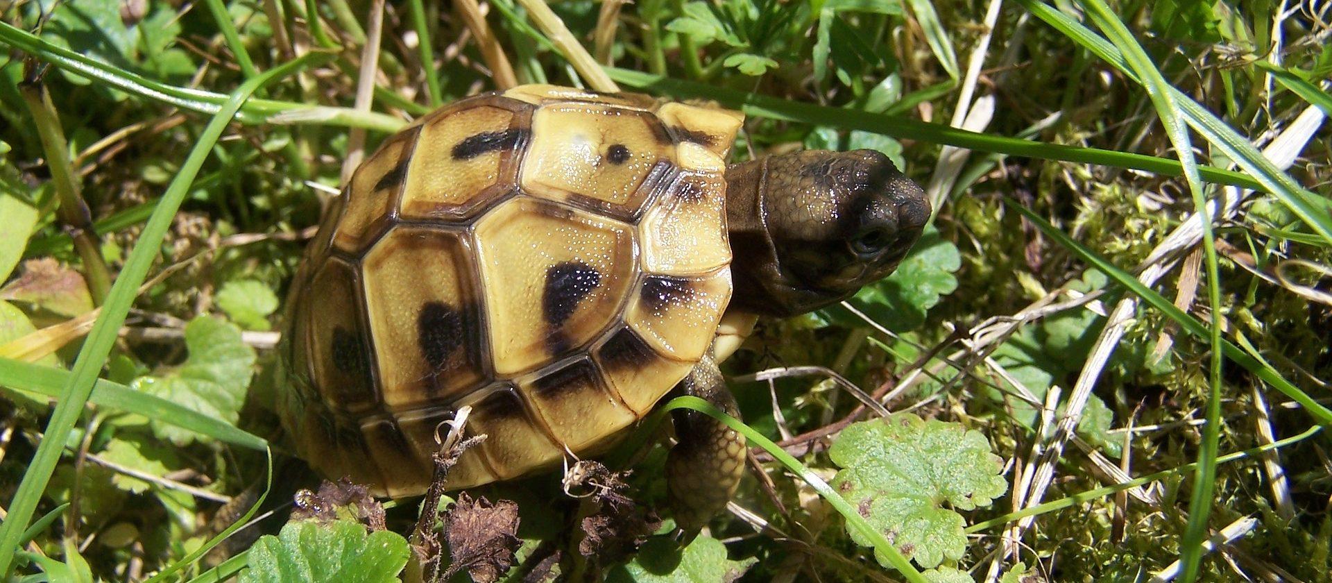griechische Landschildkröte Baby