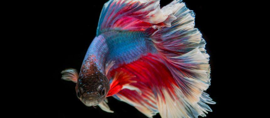 Kampffisch artgerecht halten