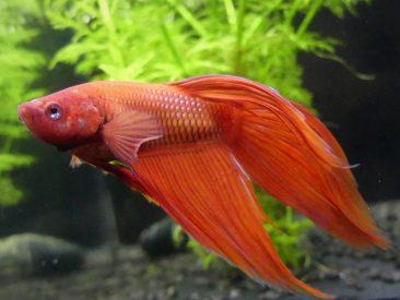 roter Kampffisch