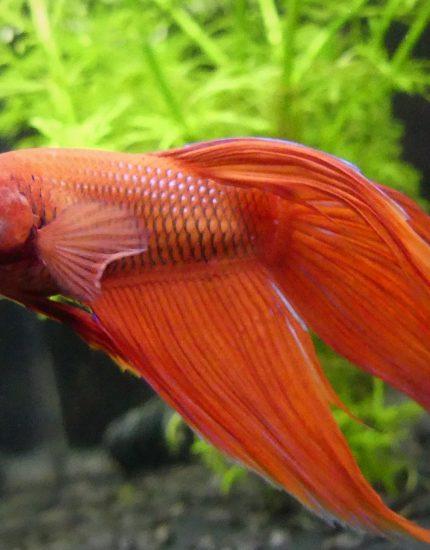 Kampffisch Haltung – prächtiger Farbklecks in deinem Aquarium