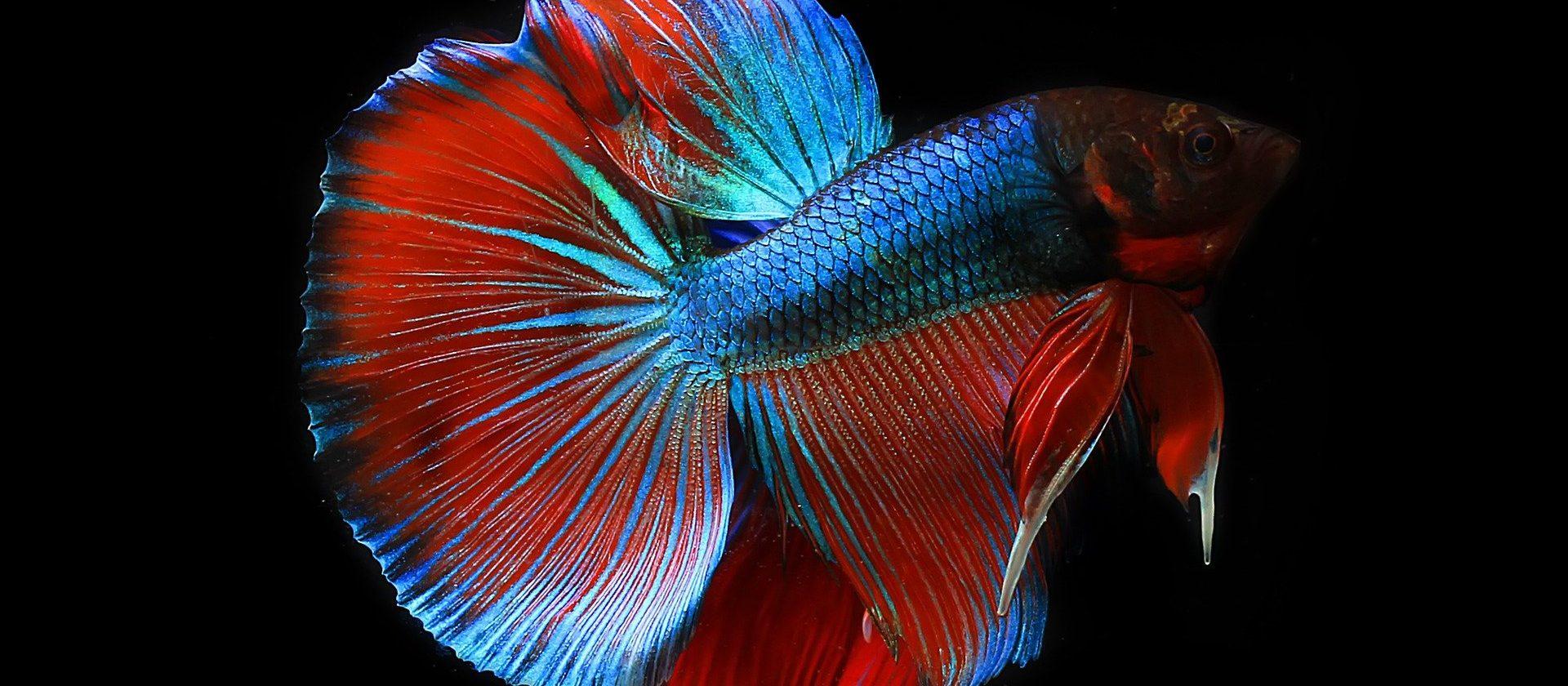 schimmernder Kampffisch