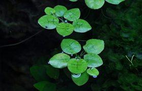 Killifische Aquariumpflanze