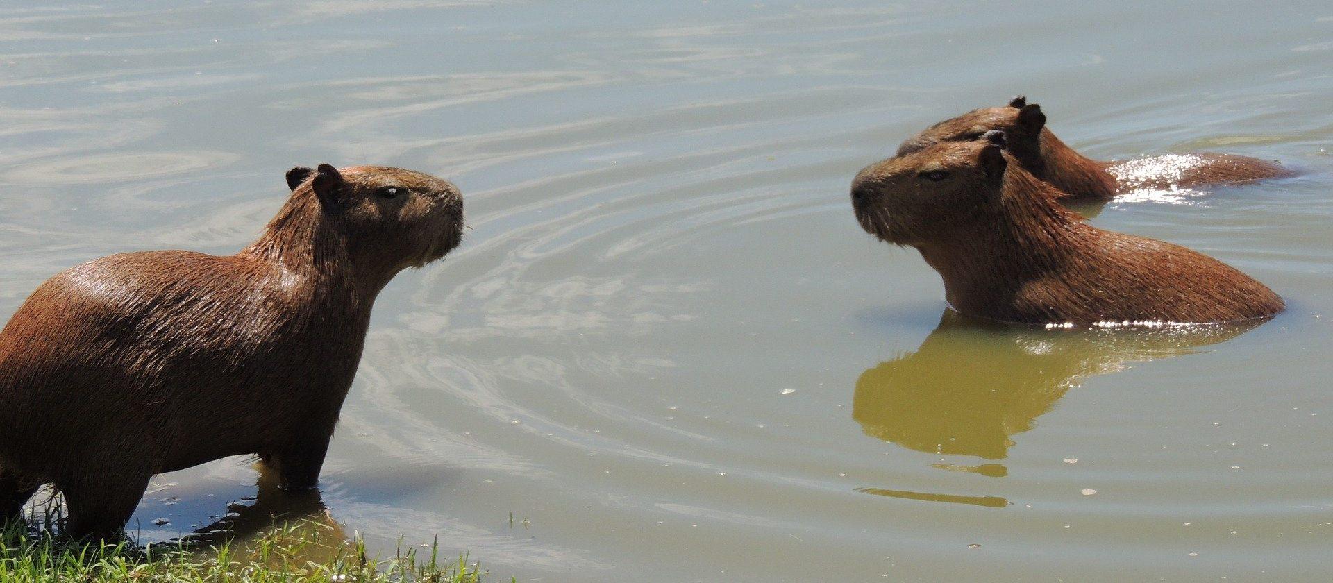 Capybara Unterbringung