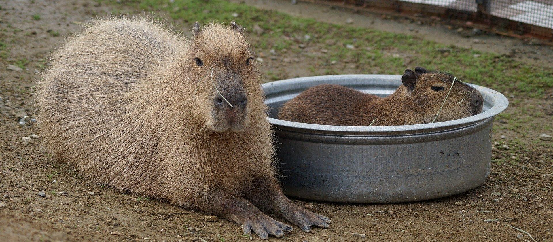 Capybara Ernährung