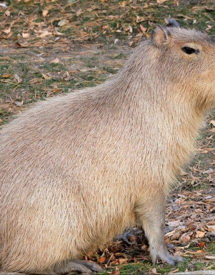 Capybara als Haustier – ein Wasserschwein kommt selten allein!