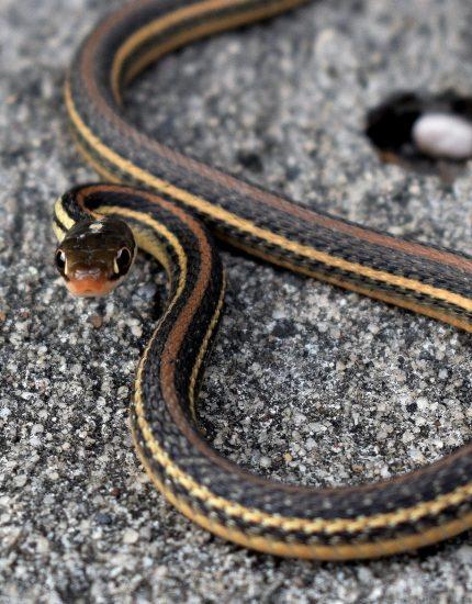 Strumpfbandnatter Haltung - Know-How für Schlangenliebhaber