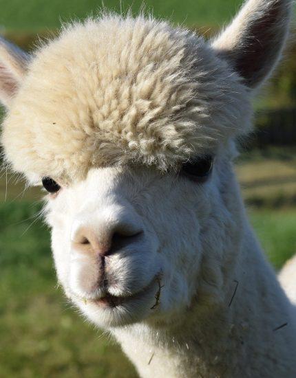Alpaka Haltung – flauschiges Mini-Kamel mit Kulleraugen