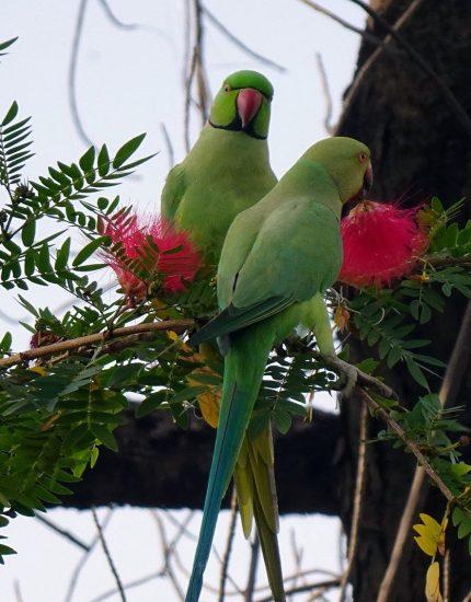 Halsbandsittich Haltung – ein Vogel für Individualisten