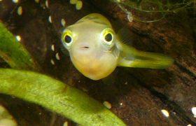 Erbsenkugelfisch halten