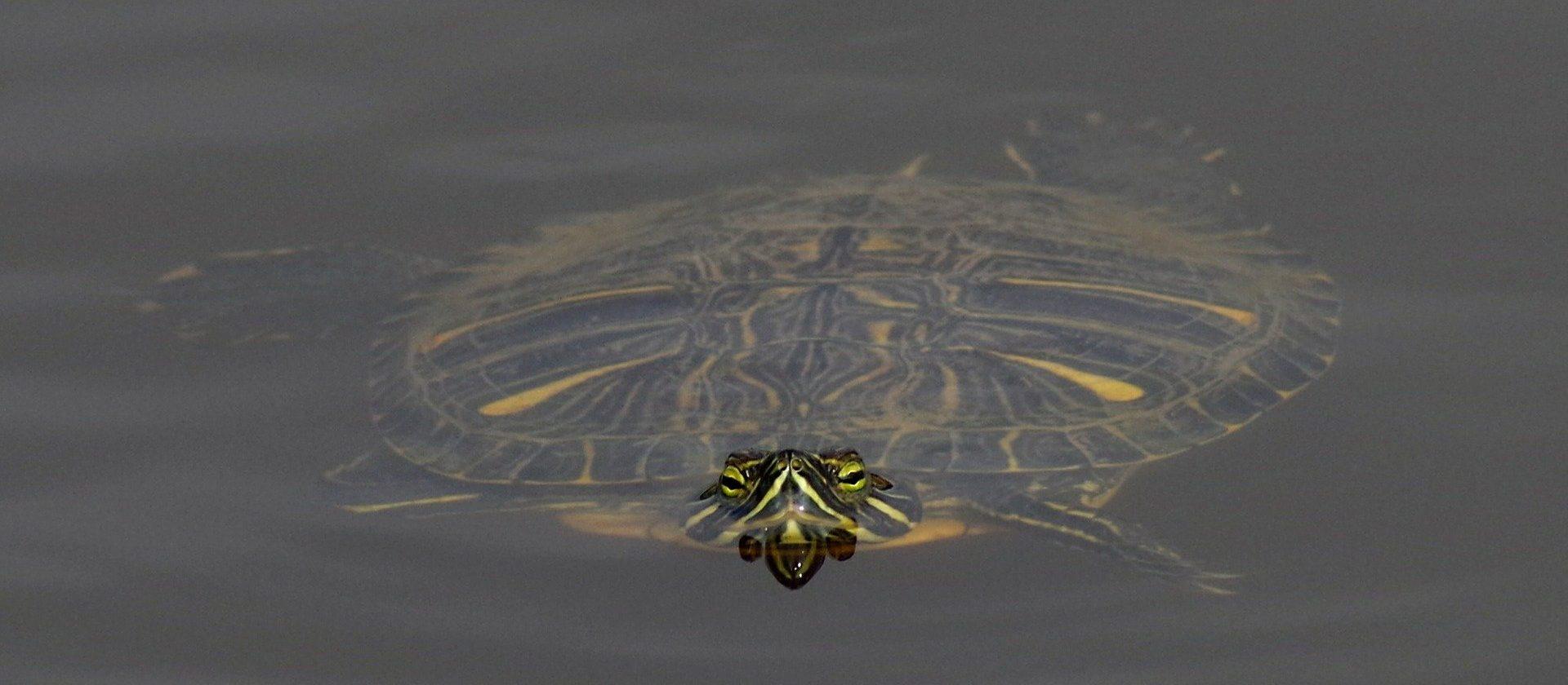 wasserschildkröten im Teich