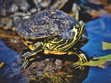 Wasserschildkröten als Haustier