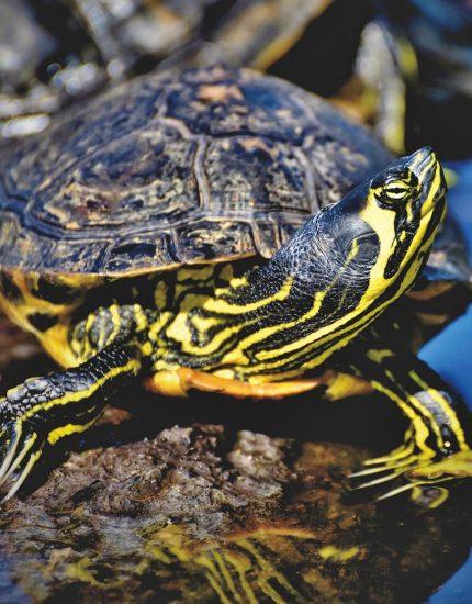 Wasserschildkröten Haltung – Bewohner für Aquarium und Teich