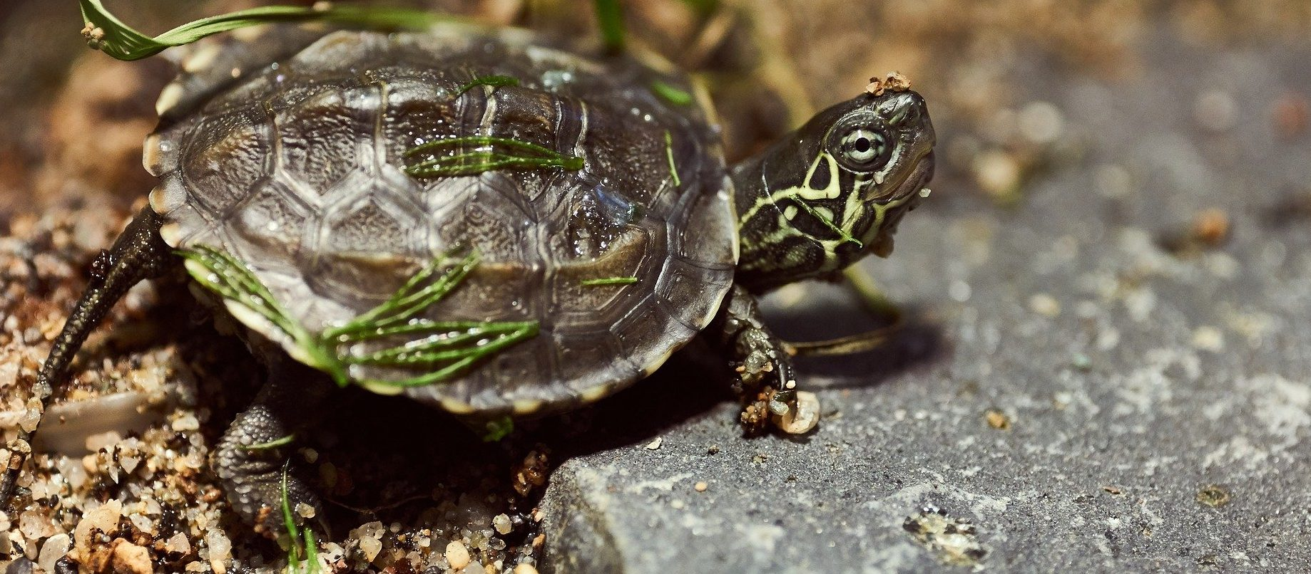 Wasserschildkröten online bestellen